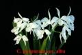 C. (L.) purpurata var. alba  x  sib ('Beauty' x 'Bride')