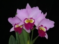 Lc. Pink Lady