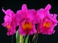 Rlc.(Blc.) Pink Empress 'Ju-Sen' AM/AOS