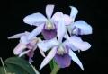 C. Tahoe Rose fma. coerulea