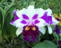 Rlc. Vigour Kugina '4 Point'