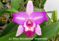 Lc. Miss Wonderful 'Imperialis' (C. Mari's Song  x L. anceps)