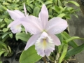 C. Sea Breeze 'Fellrath's Pride'