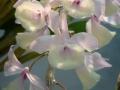 Den. aphyllum (Vietnam Type)