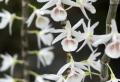 Den. cretaceum (polyanthum)