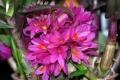 Den. Hibiki (laevifolium  x  bracteosum)