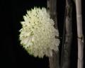 Den. purpureum (white)  x  sib