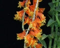 Den. chrysopterum