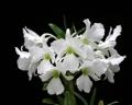 Den. sanderae var. luzonicum  x  sib (