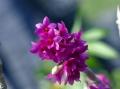 Den. goldschmidtianum (miyakei) x sib (