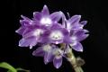 Den. victoriae-reginae  x  sib (
