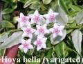 Hoya bella (varigated)