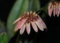 Bulb. roxburghii