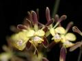 Encyclia (E.) alata  x  sib