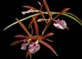 Enc. bractescens