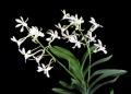 Chrisnetia Green Light (Christensonia vietnamica  x  Neof. falcata var. armami)