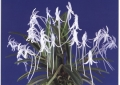 Neof. falcata (White)