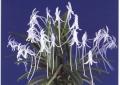 Neof. falcata (White)
