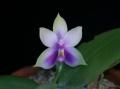 Phal. bellina var. coerulea  x  self