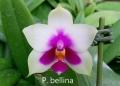 P. bellina