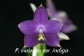 Phal. violacea f. coerulea