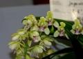 Phal. (Sedirea) japonica