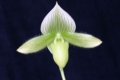 Paph. LimeLight