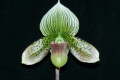 Paph. Hsinying Art Pie
